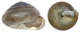 Trichia unidentata (Draparnaud, 1805)