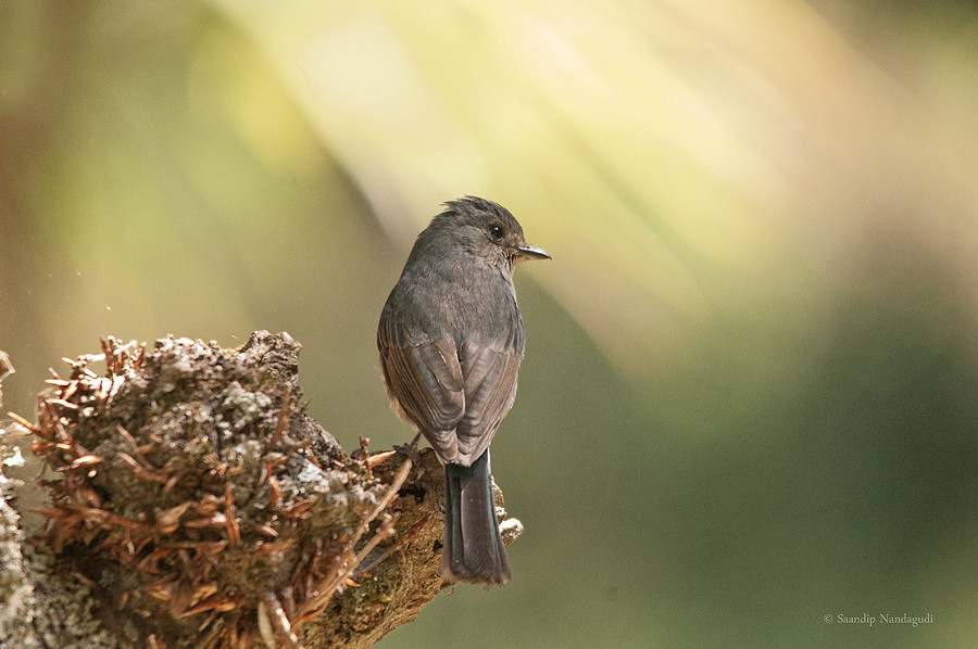 Nilgiri Flycatcher-Female