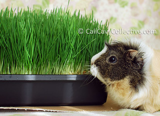 Can guinea pigs eat wheatgrass? Yes! So why grow wheatgrass for your guinea pig