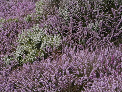 hyssopus, shrub, flower, english lavender, plant, lavender, lilac, lavender, wildflower, flora,