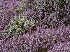 lavandula dentata(0.0), rosemary(0.0), breckland thyme(0.0), lavandula stoechas(0.0), hyssopus(1.0), shrub(1.0), flower(1.0), english lavender(1.0), plant(1.0), lavender(1.0), lilac(1.0), lavender(1.0), wildflower(1.0), flora(1.0),