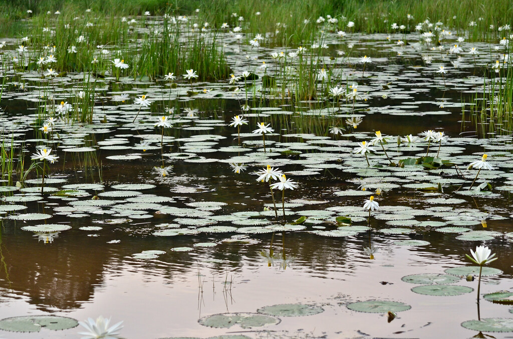 Water Lily Pond at Kampung Budiman 紳士村蓮花池
