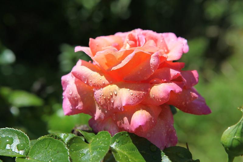 rose_078