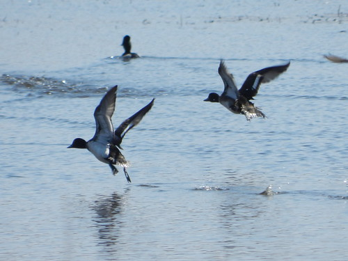 Fleeing Lesser Scaup