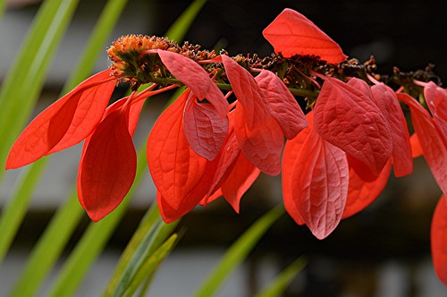 Warszewiczia coccinea is also called Pride of Trinadad and Tobago by jungle mama