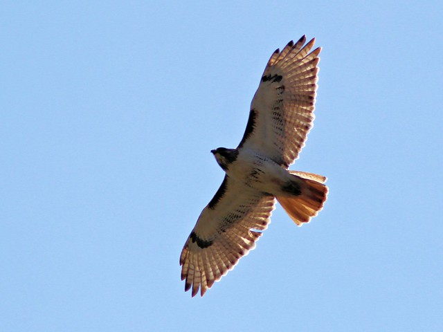 Red-tailed Hawk 2-20130421