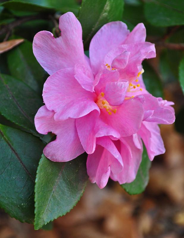 Camellia sasanqua 'Showa-no-saki'