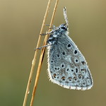 Chalk-hill Blue 16-08-12-0008