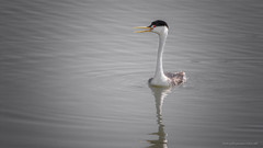 Clark's Grebe with something to say