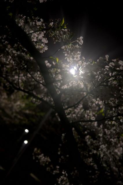 sakura light flare