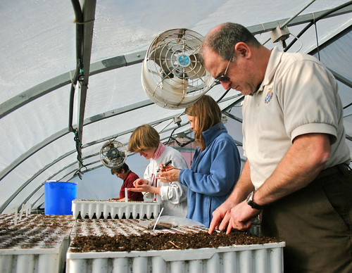 Volunteers help harvest native seedlings at the Hiawatha National Forest greenhouse in Marquette, Mich. U.S. Forest Service photo.