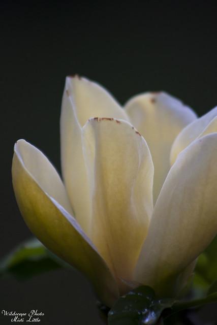 Yellow Bird Magnolia