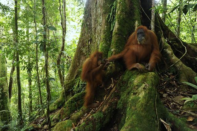 Sumatran Orang utan & infant