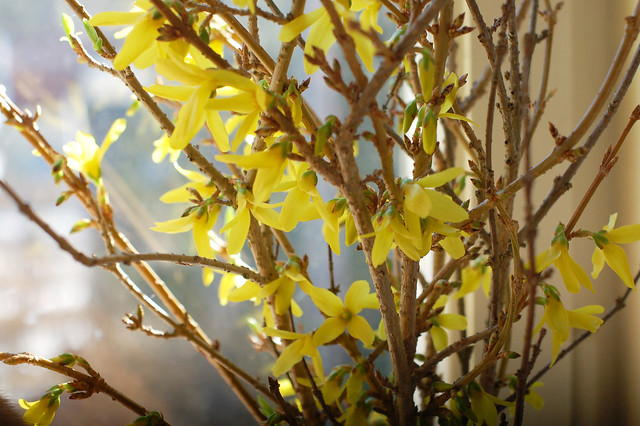Creative Snapshots | Forsythia in Bloom