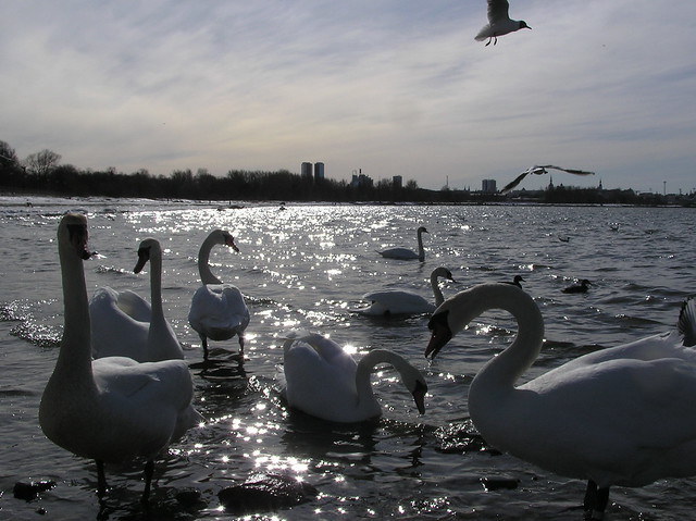 Tallinn bay with mute swans