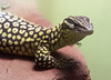 Gomez the Spiny-tailed Monitor