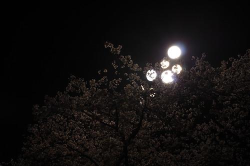 内野の桜 2013