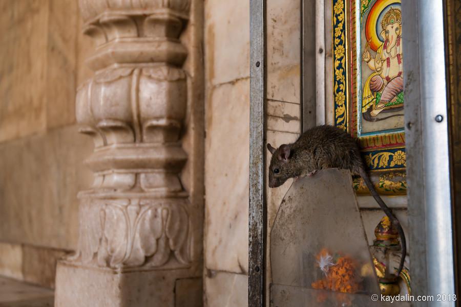Rats Temple, India.