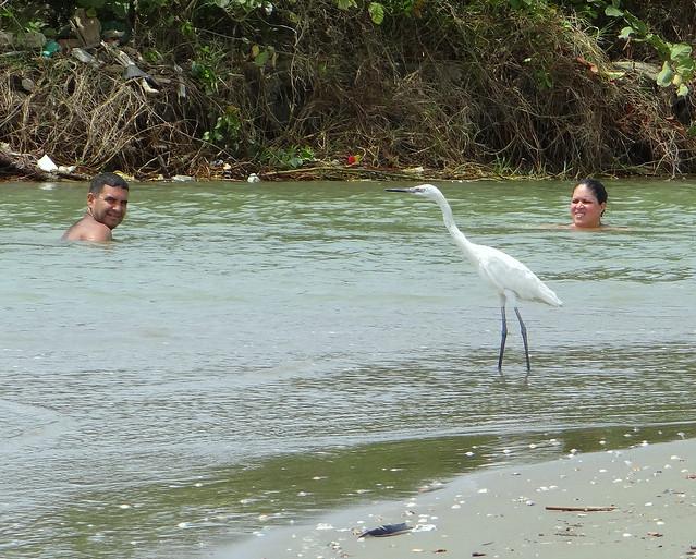 Garza rojiza [Reddish Egret] (Egretta rufescens rufescens) (Morfo blanco [White morph])