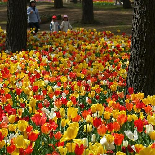 park plant flower children tulip flowergarden チューリップ bulbousplant 国営ひたち海浜公園 fujifilmxe1 xf1855mmf284rlmois hitachiseasidenationalgovernmentpark
