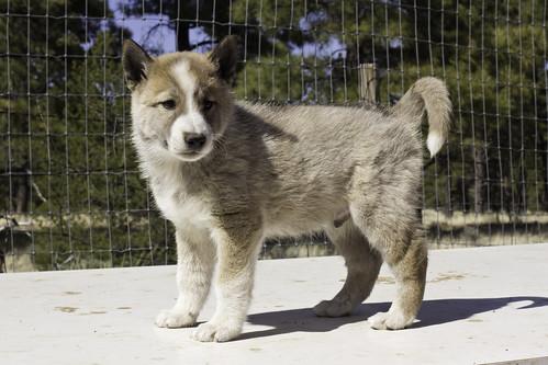 Ike-Kilbe-Pup1-Male(Day 40)-2