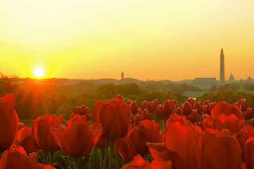 sunrise dc washington tulip dcist