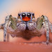 Male Habronattus virgulatus Jumping Spider - Arizona by Thomas Shahan