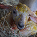 1313 ram lamb