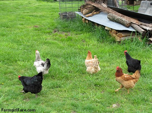 Chicken and egg tales (2) - five happy hens on the run - FarmgirlFare.com