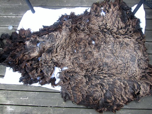 Grey-black Shetland fleece