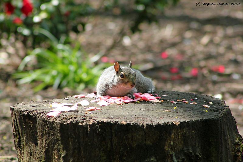 Petal Squirrel by SteveRotherPhotography