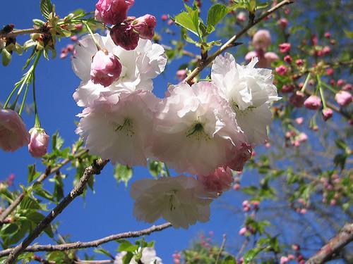 "Flowering Cherry ""Shogetsu."" by Leenechan"