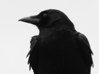 Crow Portrait