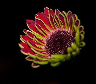 Gerbera Daisy Blooming at Night