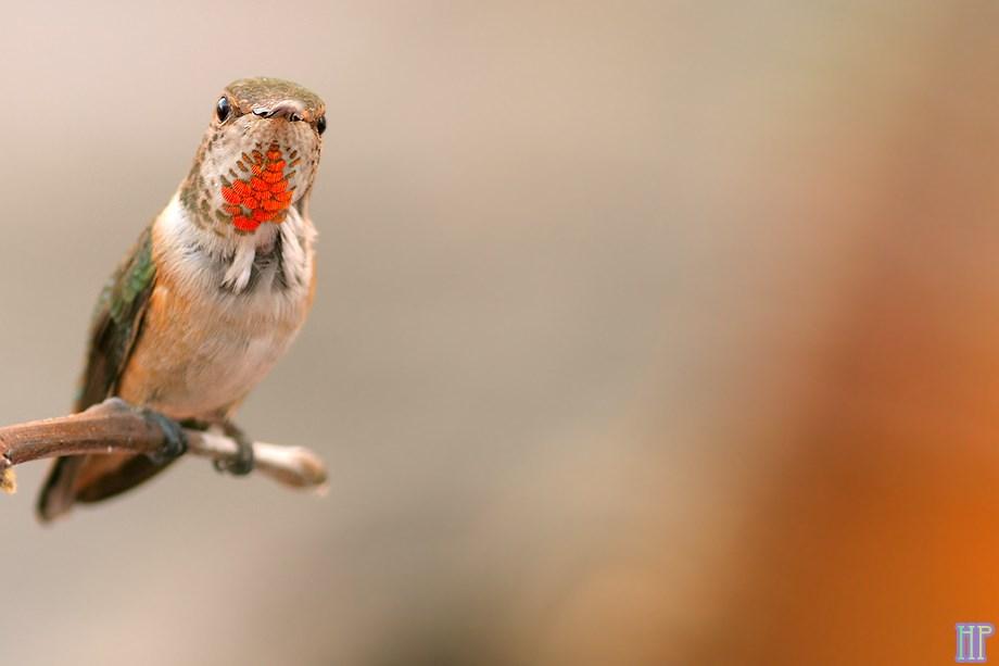 Allan's Hummingbird 050513