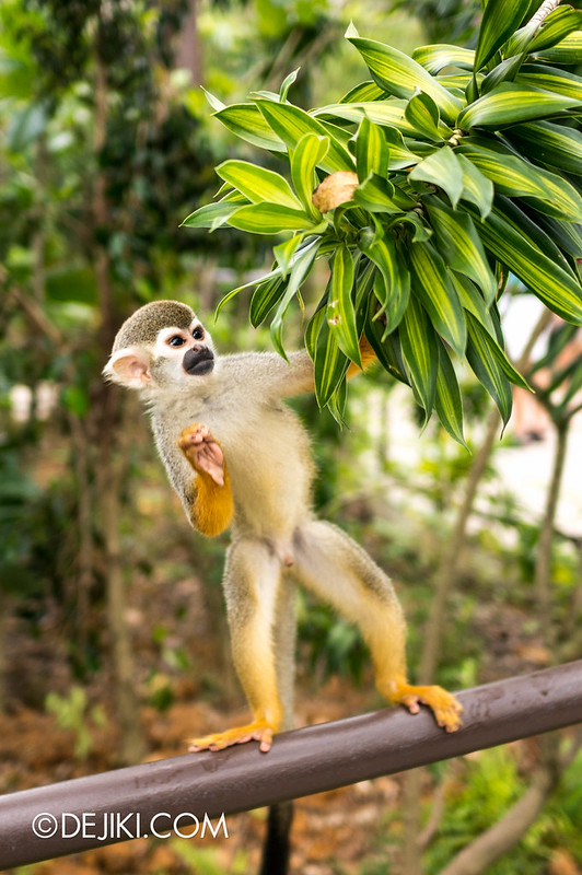 River Safari - Squirrel Monkey 8