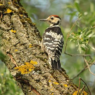 Weißrückenspecht - Rare bird in ...