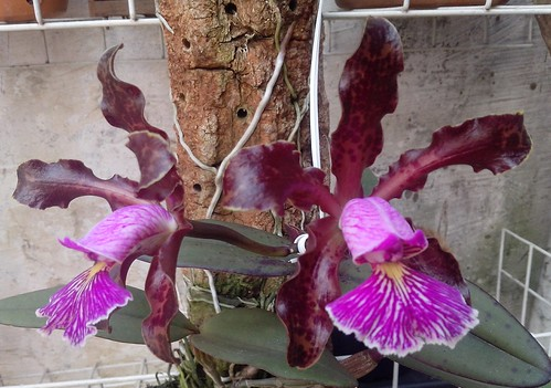 Cattleya schilleriana by Flick Fer