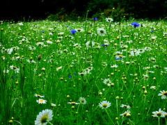Meadow wild flowers
