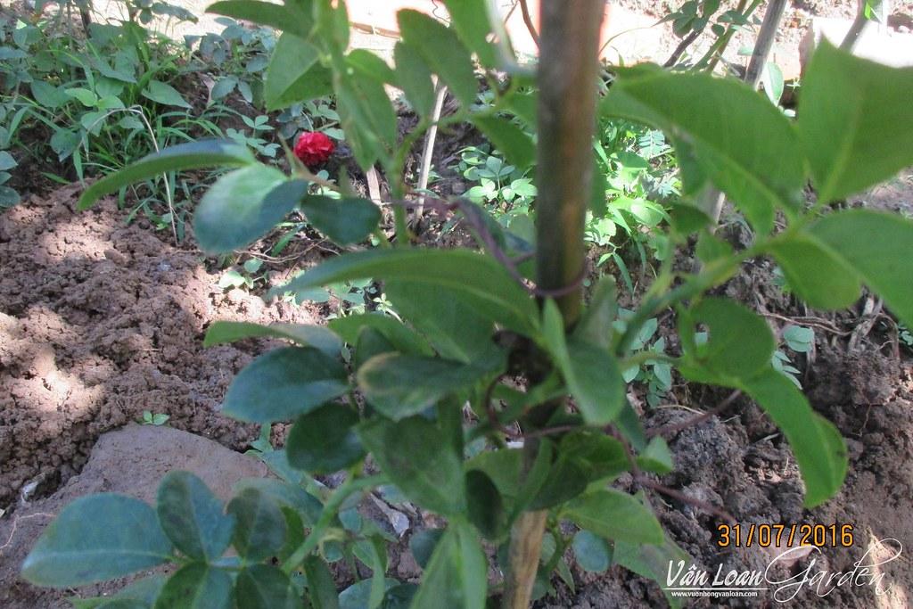 cach trong hong leo lan chi jasmina xuong dat (29)-vuonhongvanloan.com