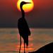 Silueta de Garça  [Great Egret Silhouette] by Jim Skea
