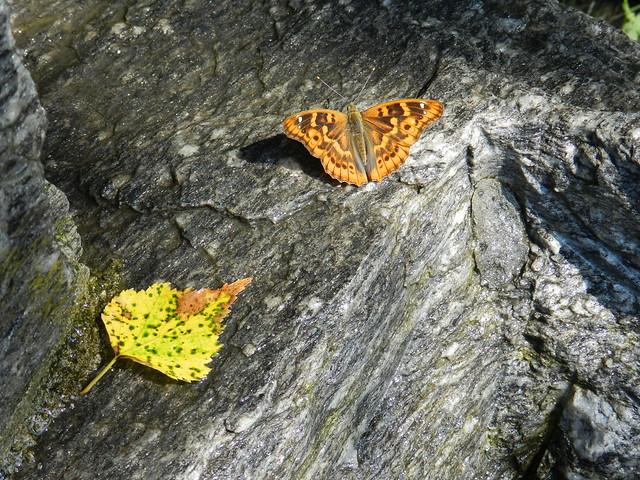 Apatura ilia f.clytie- L'estate lascia il posto all' autunno ...