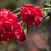 Weary Roses by cogdogblog