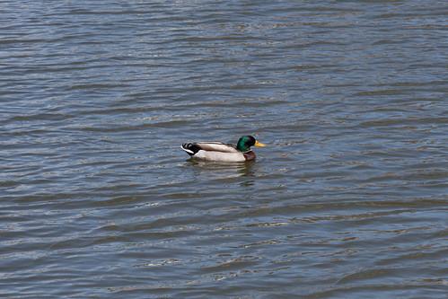 bird water swimming duck spring pond unitedstates pennsylvania ducks malard sayre sayrepa malemalard