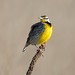 Eastern Meadowlark - Photo (c) JanetandPhil, some rights reserved (CC BY-NC-ND)