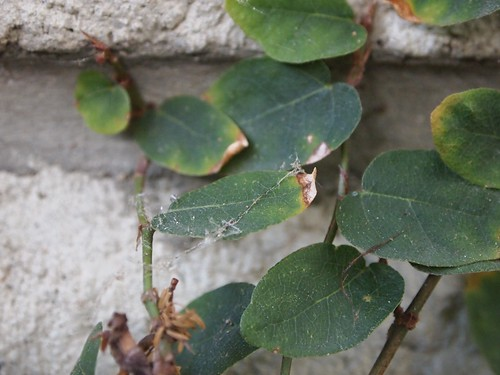 Garden Inventory: Ficus repans - 02