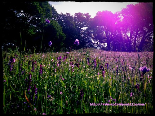 A field of purple weeds