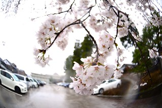 じょうはな座の桜@城端。