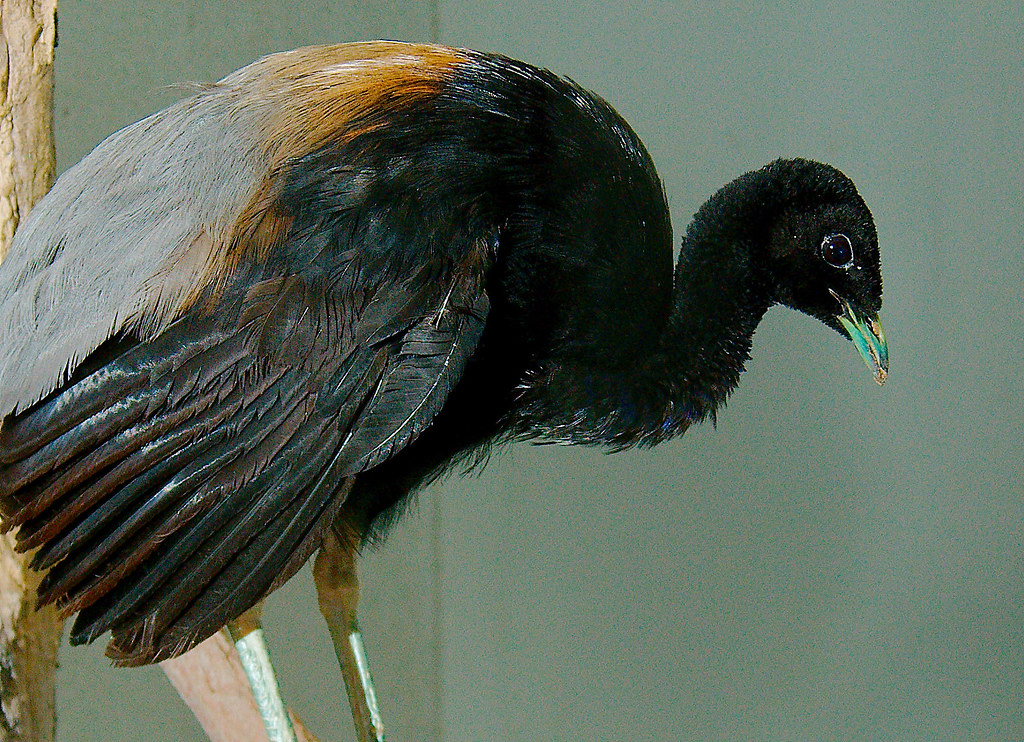 Grey-winged Trumpeter (Psophia crepitans)_1