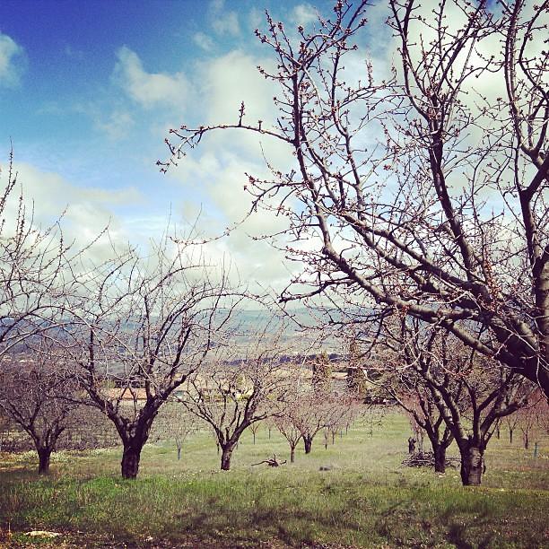 Cherrytrees. En av många körsbärsodlingar. Hoppas de hinner slå ut innan vi åker hem...